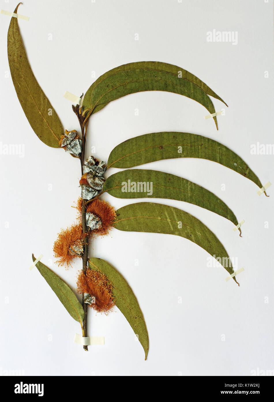 A herbarium sheet with Eucalyptus globulus, the Tasmanian bluegum or Southern blue gum, family Myrtaceae, native to Australia - Stock Image