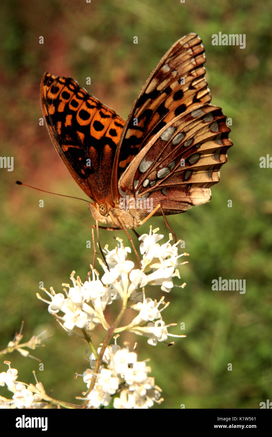 Great spangled frittilary butterfly feeding on nectar - Stock Image