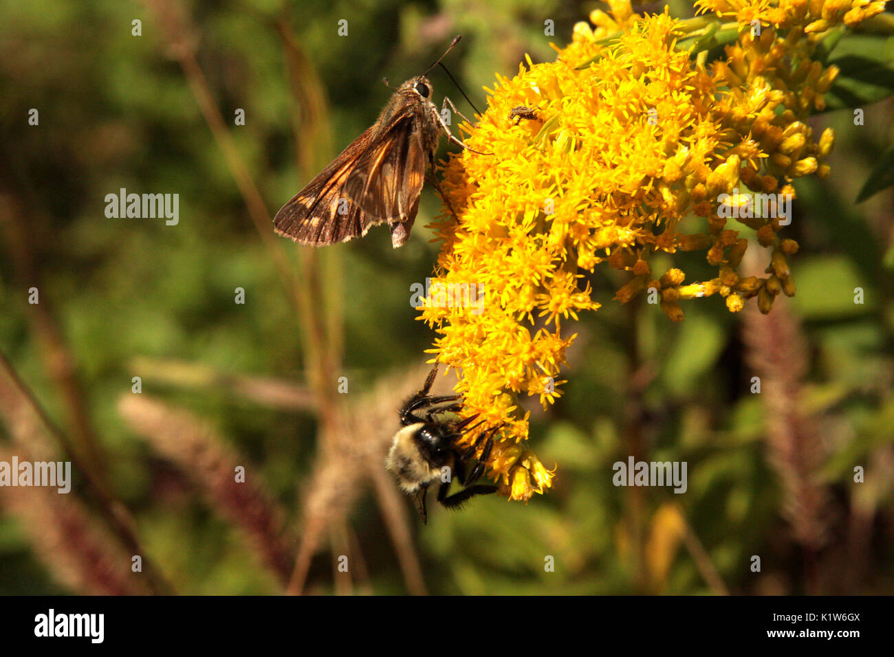 Dull Firetip butterfly on flowers - Stock Image
