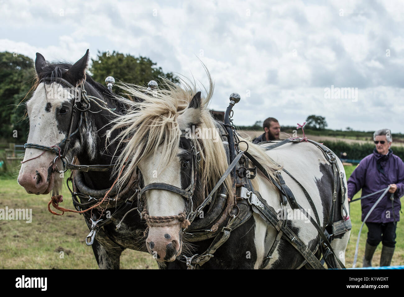 two working horses - Stock Image