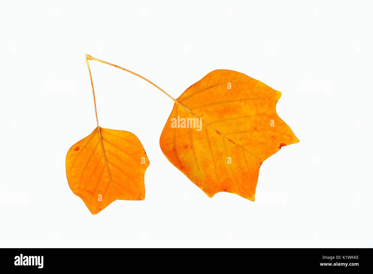 Tulip Tree, leaves in autumn / (Liriodendron tulipifera) | Tulpenbaum, Blaetter im Herbst / (Liriodendron tulipifera) - Stock Image