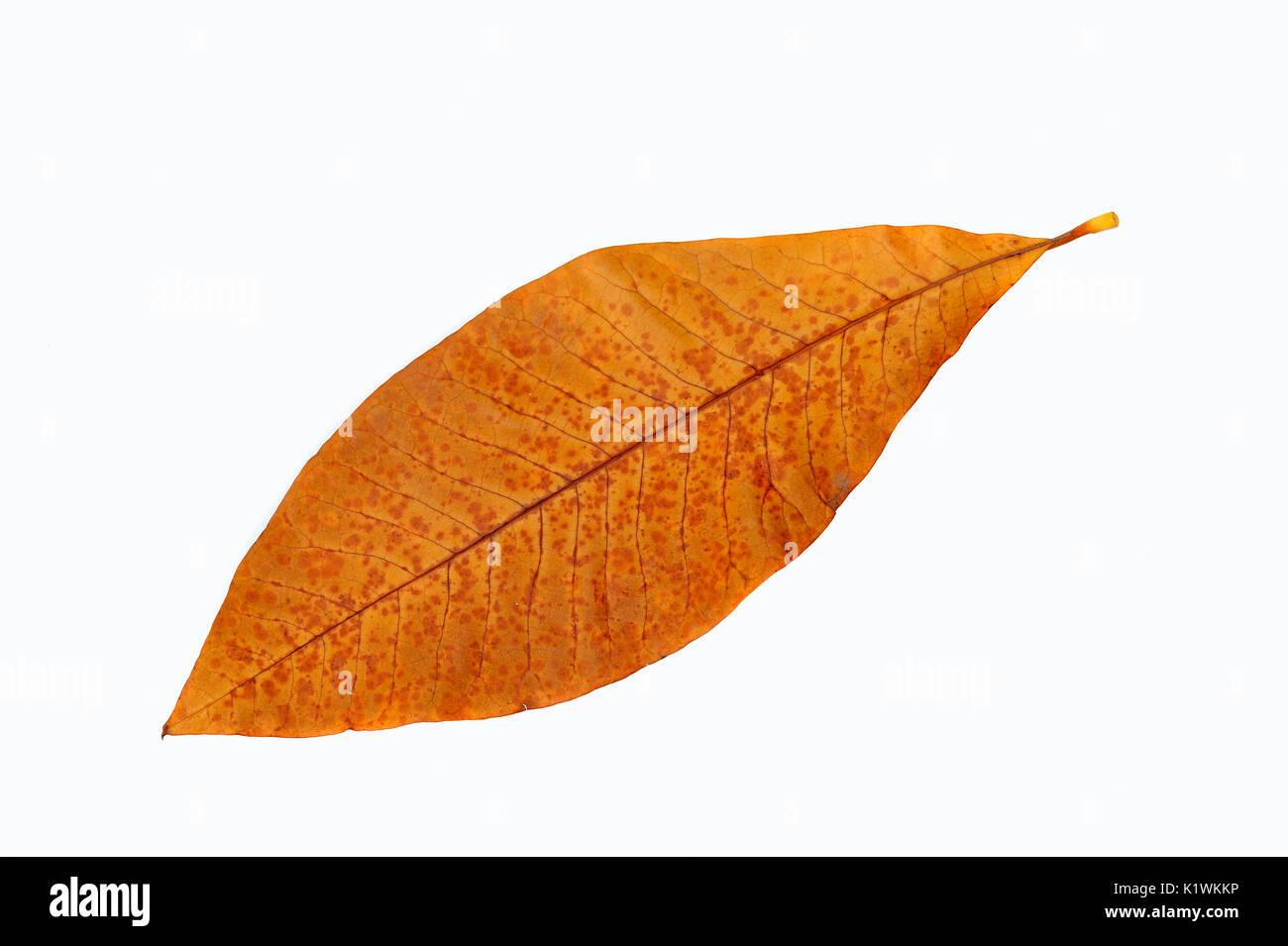 Umbrella Magnolia, leaf in autumn / (Magnolia tripetala) | Schirmmagnolie, Blatt im Herbst / (Magnolia tripetala) - Stock Image