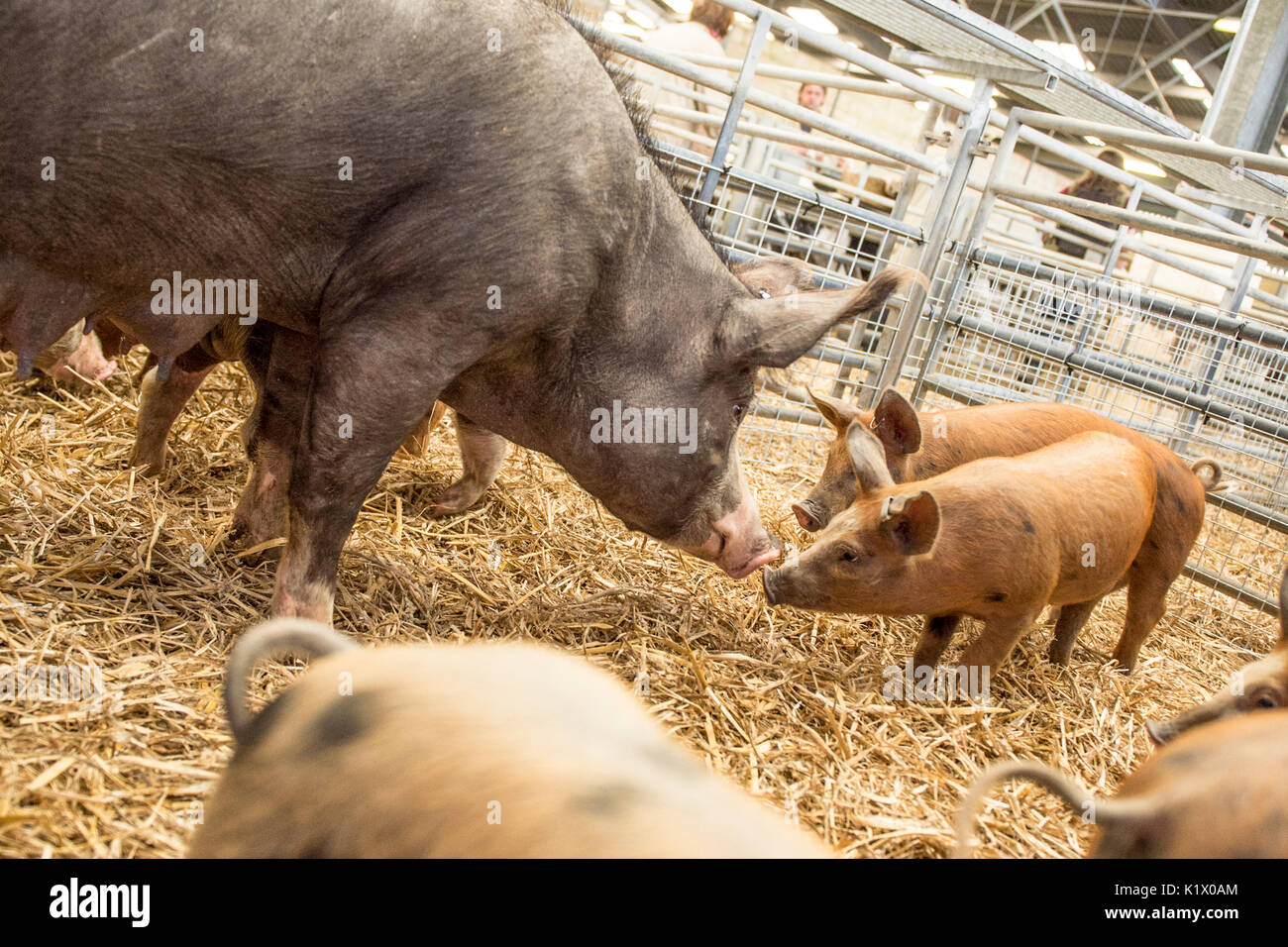 pigs at market - Stock Image