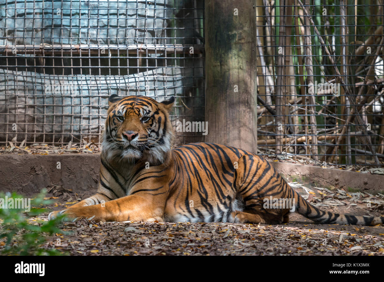 Tiger Sitting in Zoo Cell Looking at Camera - Stock Image