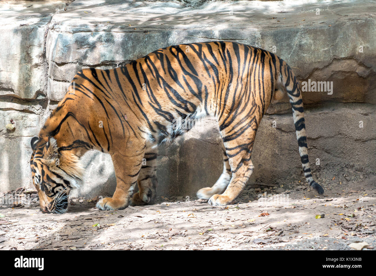 TView of Tiger from the Side While his Head is Down - Stock Image
