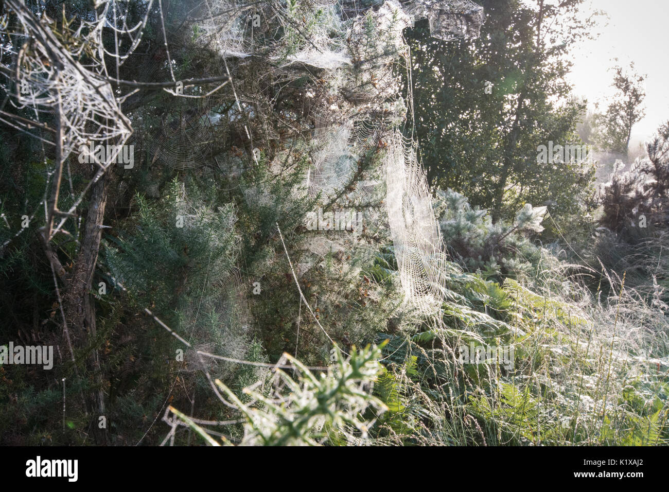 Spider's webs on gorse bushes on a frosty morning at Thursley Common National Nature Reserve in Surrey, UK - Stock Image