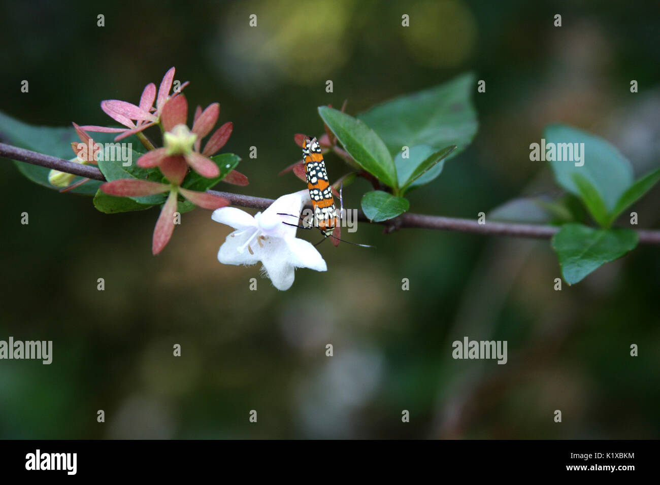Ailanthus webworm moth on branch with flowers - Stock Image