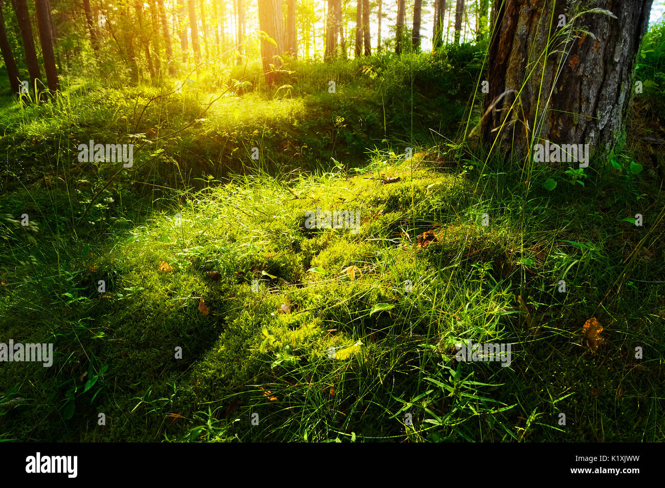 Summer forest undergrowth vegetation. Grass, shrubs and moss growing in pinewood understory or underbrush backlit by the sun. Pomerania, Poland. - Stock Image