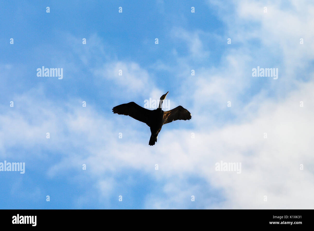 Solitary cormorant Phalacrocorax carbo bird flying up with wings spread against the blue sky and white clouds. Pomerania, northern Poland. - Stock Image