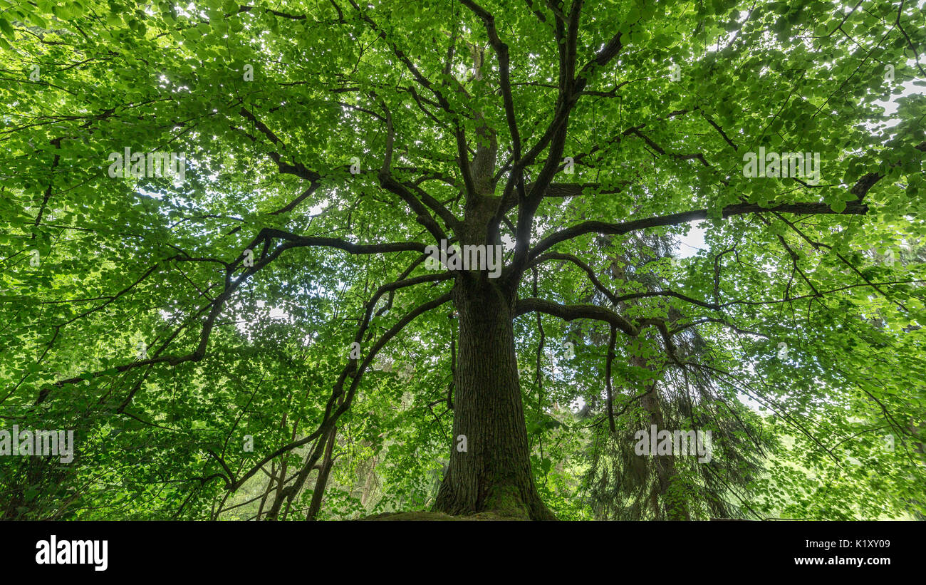 mighty old tree in the forest, spending shadow in the heat of the summer - Stock Image