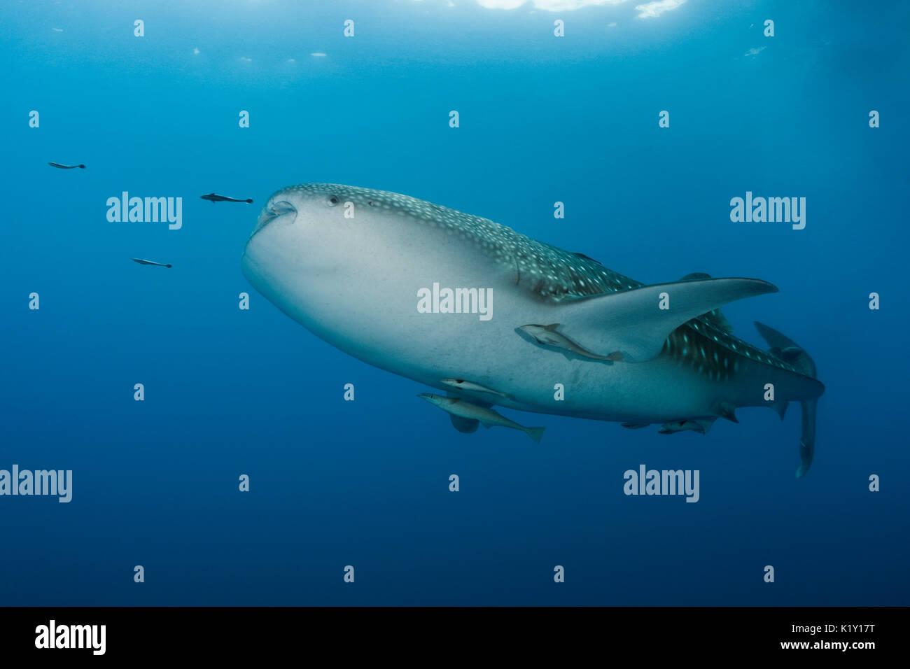 Whale Shark, Rhincodon typus, Christmas Island, Australia - Stock Image
