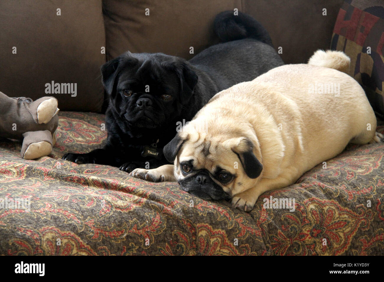 Two pugs on the couch - Stock Image