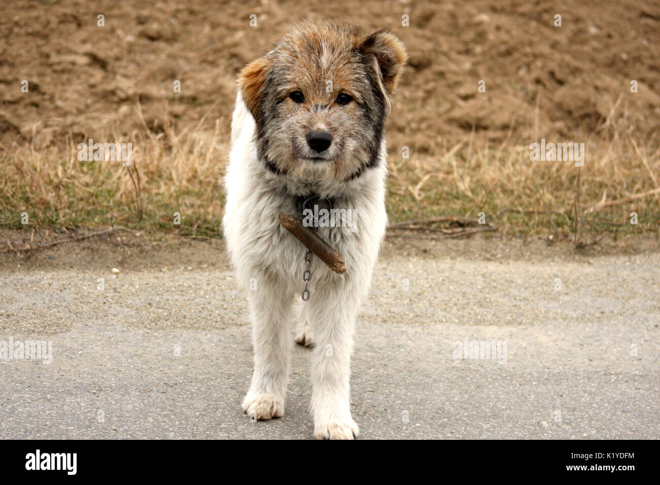 Guard dog in the yard - Stock Image