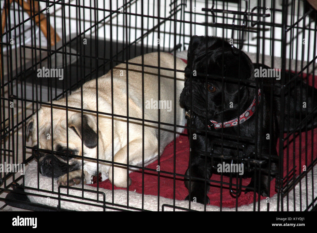 Two pugs bored in cage - Stock Image