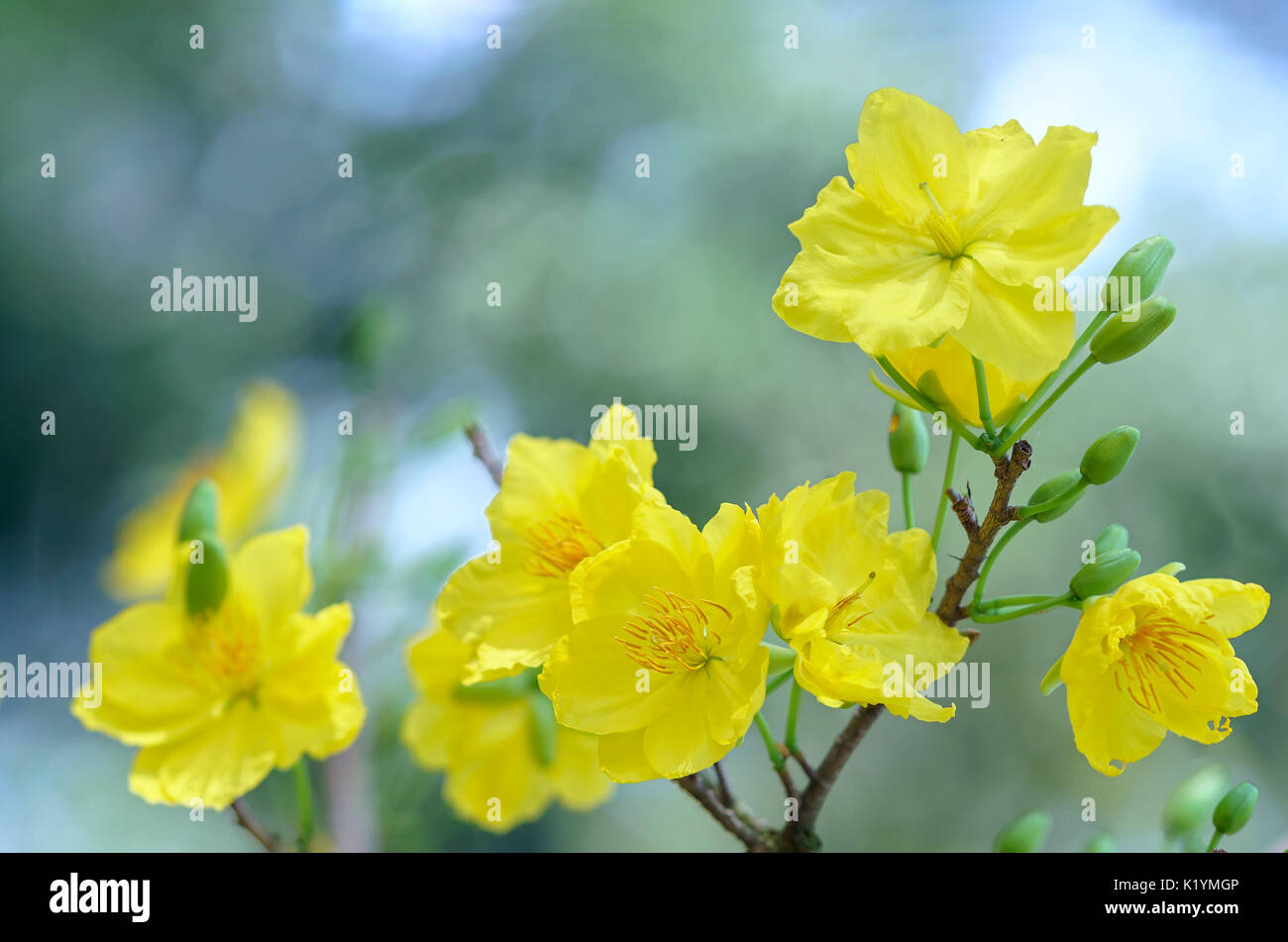Apricot flowers blooming in vietnam lunar new year with yellow stock apricot flowers blooming in vietnam lunar new year with yellow blooming fragrant petals signaling spring has come this is the symbolic flower for goo mightylinksfo