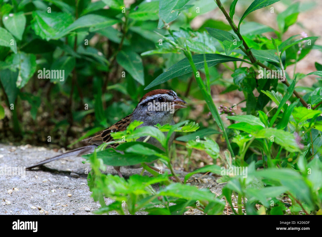 Chipping sparrow (Spizella passerina) on the ground - Stock Image