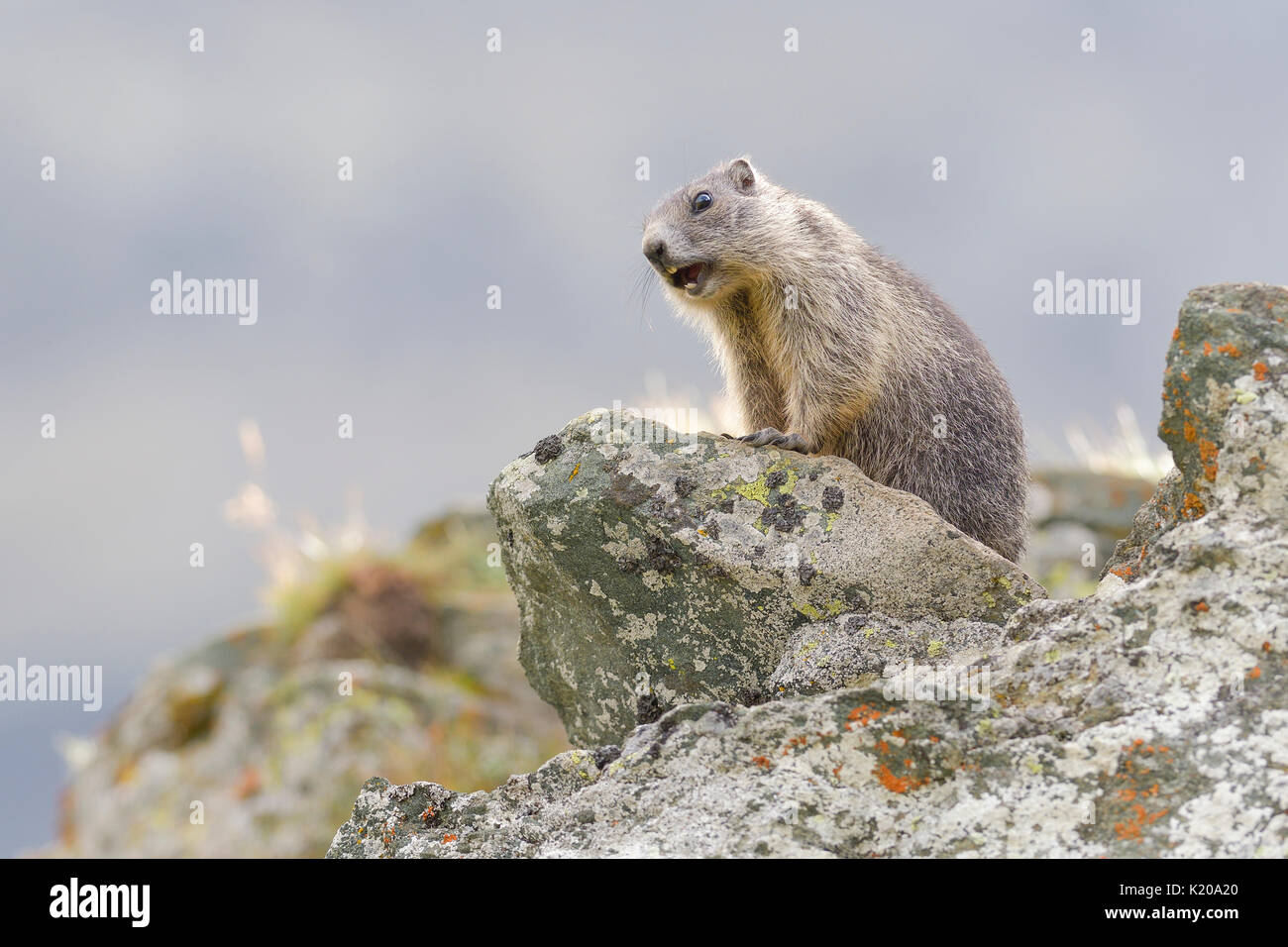 Alpine Marmot (Marmota marmota) on rocks, young animal whistling, warning sign, national park Hohe Tauern, Carinthia, Austria - Stock Image