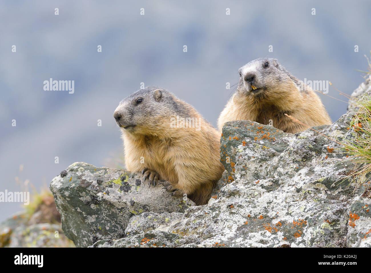 Alpine Marmots (Marmota marmota) on rocks, National Park Hohe Tauern, Carinthia, Austria - Stock Image