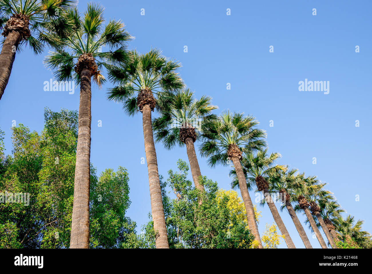 Tall palm trees in Nicosia city public park, Cyprus - Stock Image