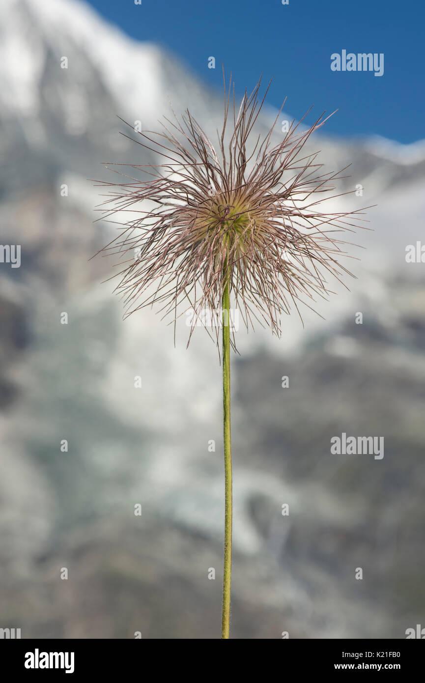 Alpine Pasqueflower (Pulsatilla alpina) with its distinctive silky, hairy seed-heads (achenes), Gasterntal, Valais, Switzerland - Stock Image