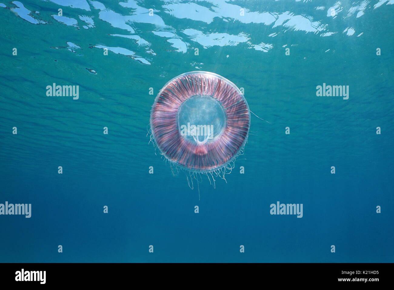 Underwater jellyfish Aequorea in the Mediterranean sea, Spain, Costa Brava, Girona, Catalonia - Stock Image