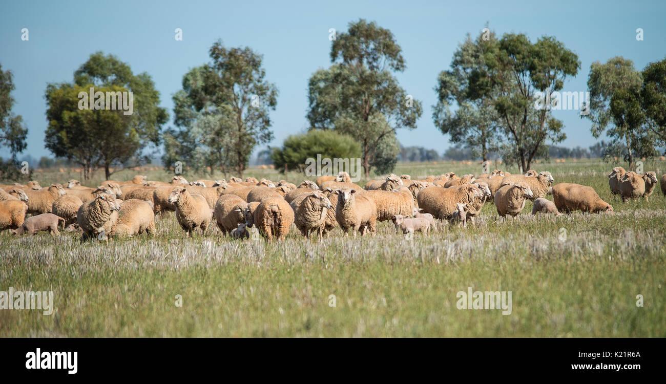 merino sheep grazing - Stock Image