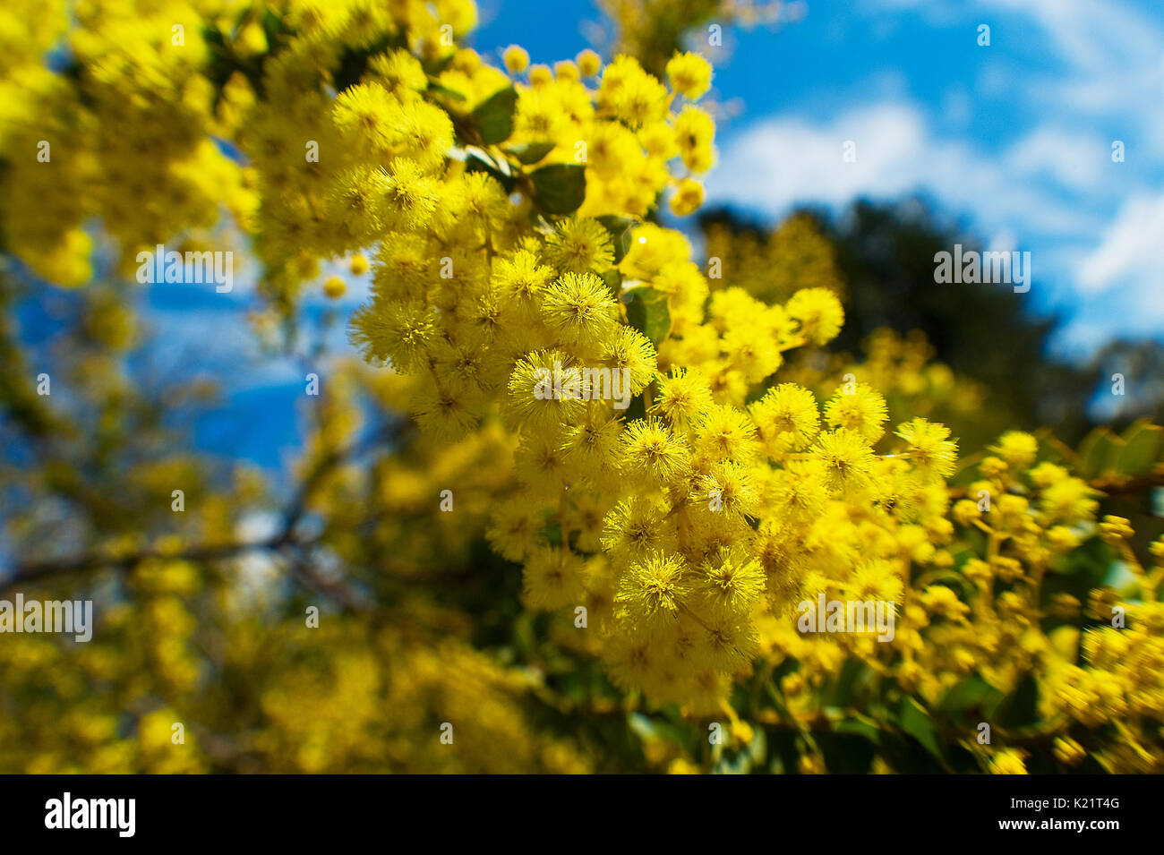 wattle tree in blossom - Stock Image
