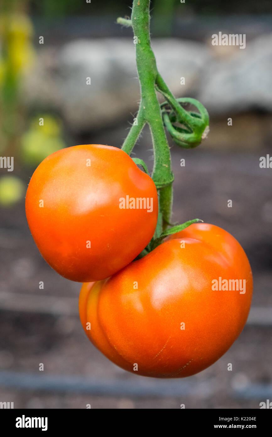 Crimson Crush Tomato a blight-resistant tomato developed by scientists at Bangor University - Stock Image