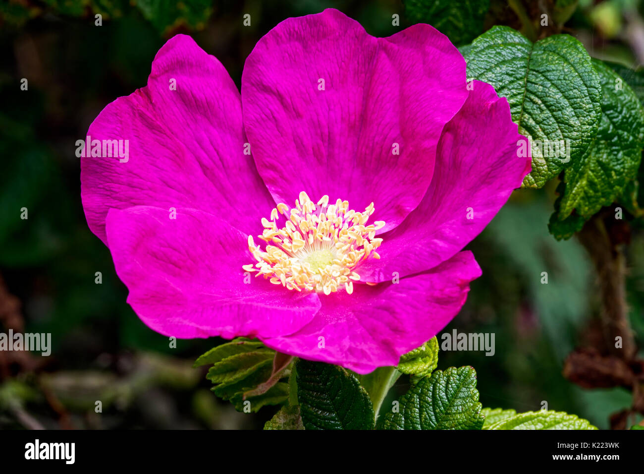 Dog Rose Beauty Flowers Pink Plants Stock Photos Dog Rose Beauty