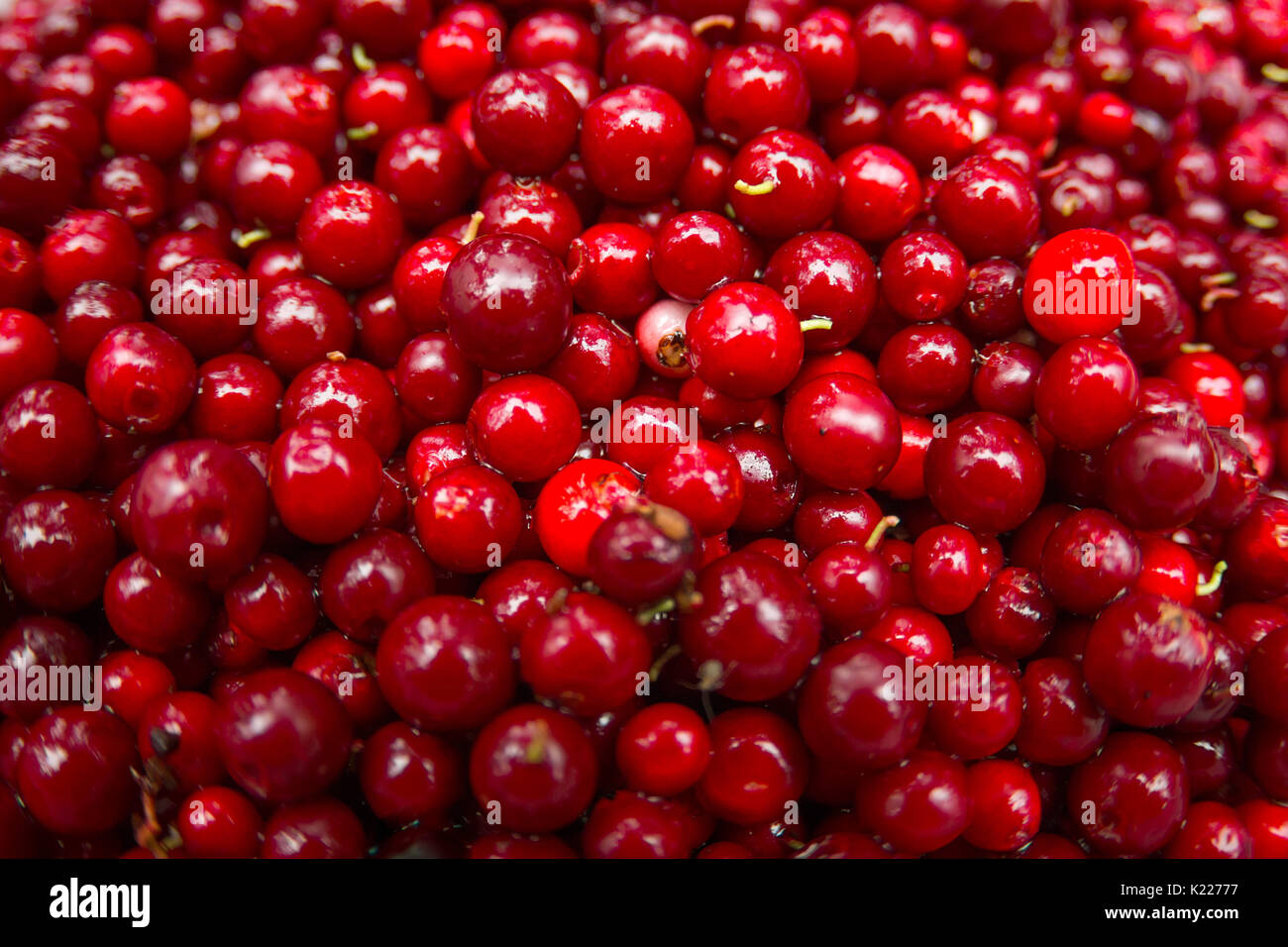 Cranberry or Cowberry background, Top macro view - Stock Image