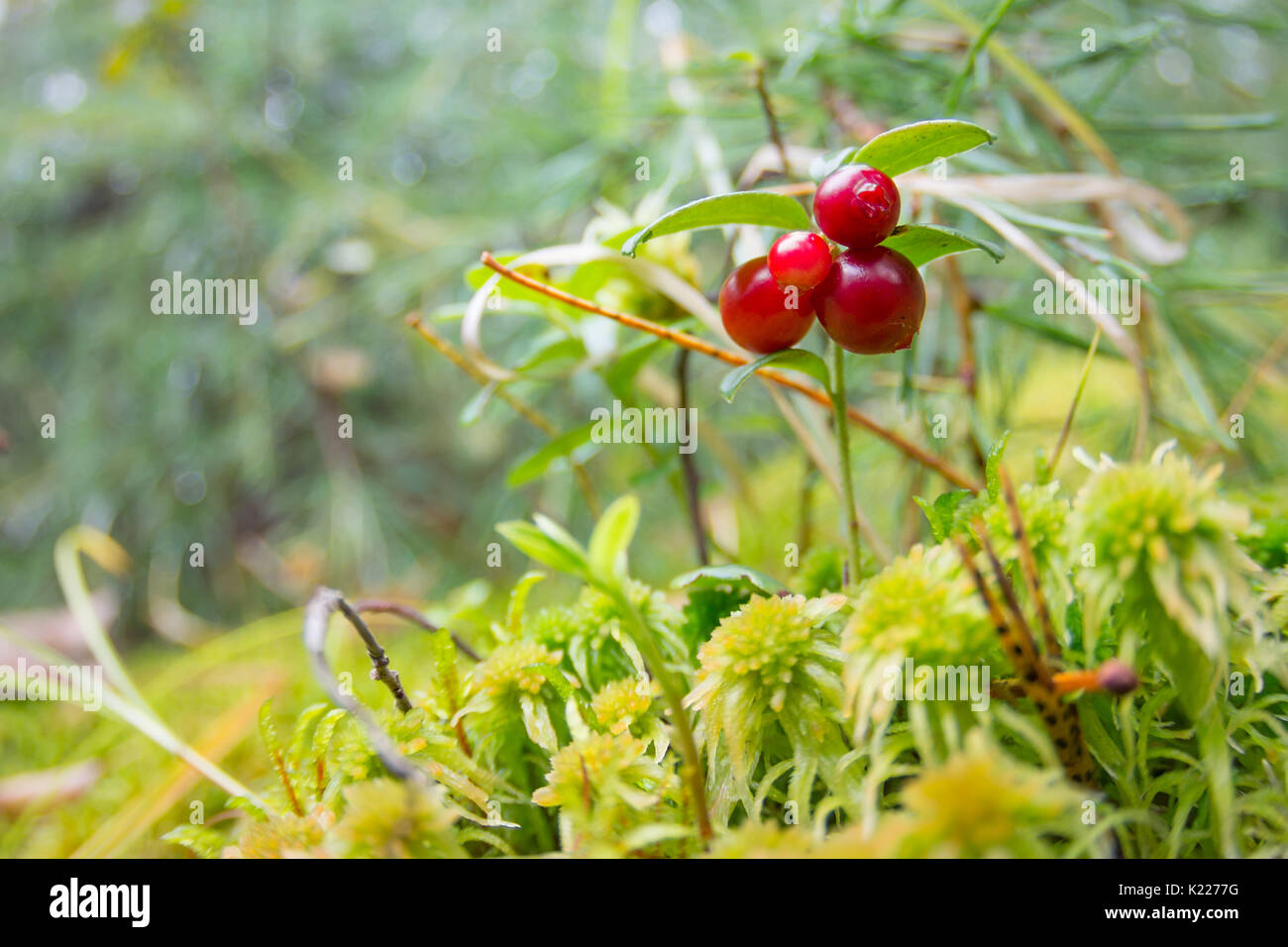 Ripe red cowberry grows in pine forest. - Stock Image