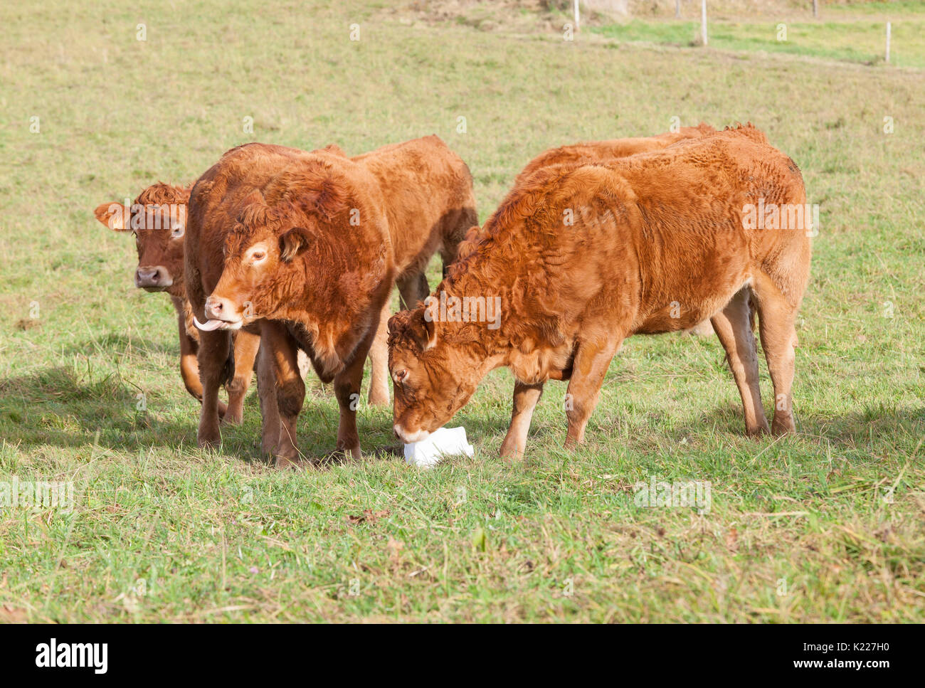 When do limousin cattle mature