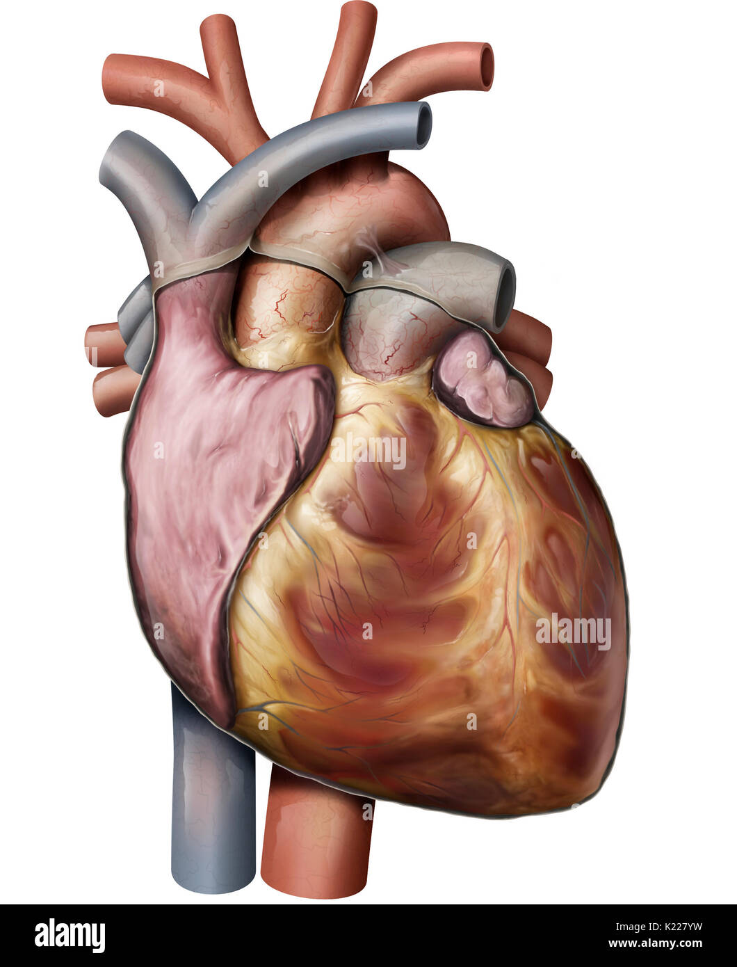 The heart is a muscular organ made up of four chambers; its regular rhythmic contractions pump and circulate blood. - Stock Image