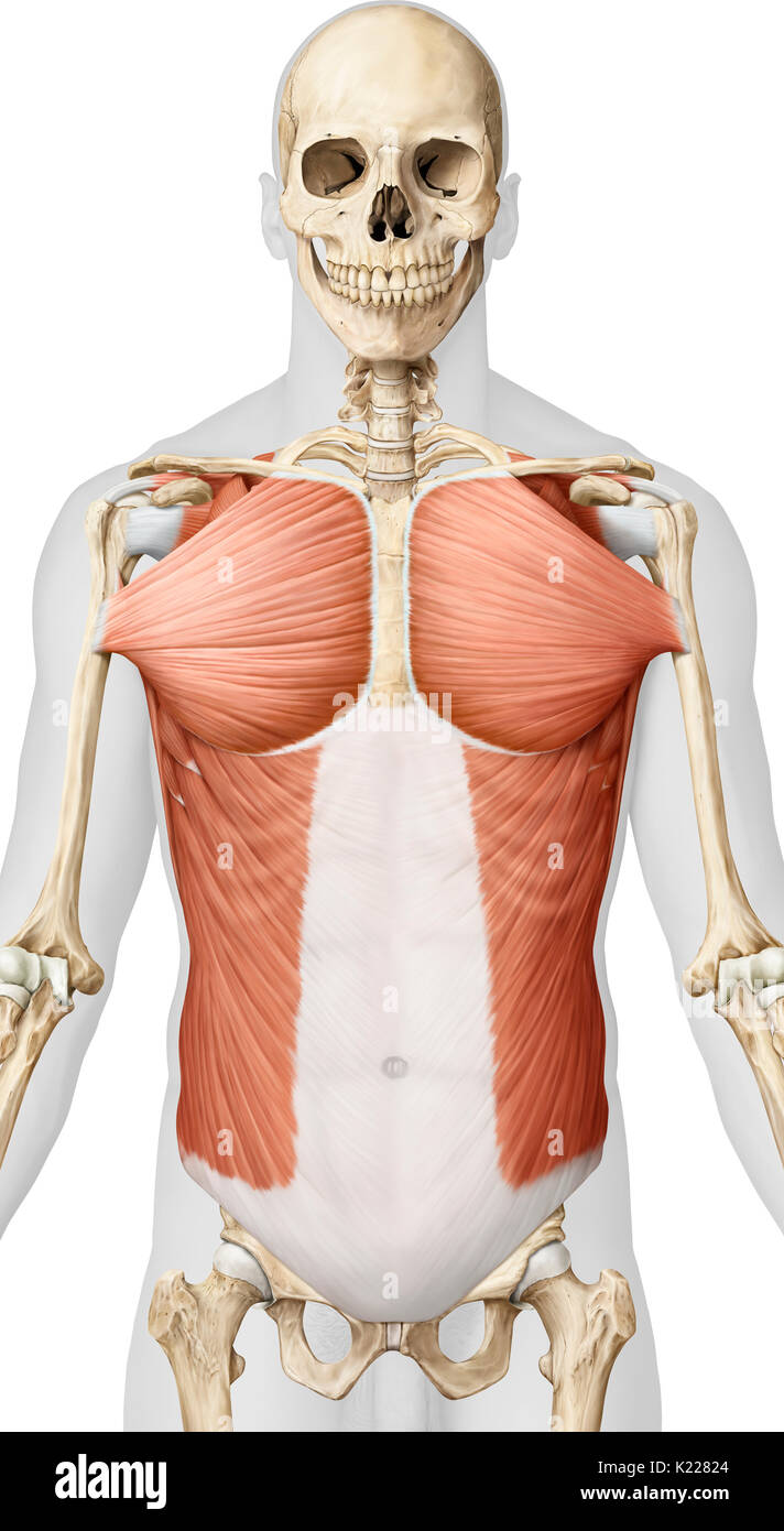 This image shows muscles from the trunk; the greater pectoral and the external oblique muscle. - Stock Image