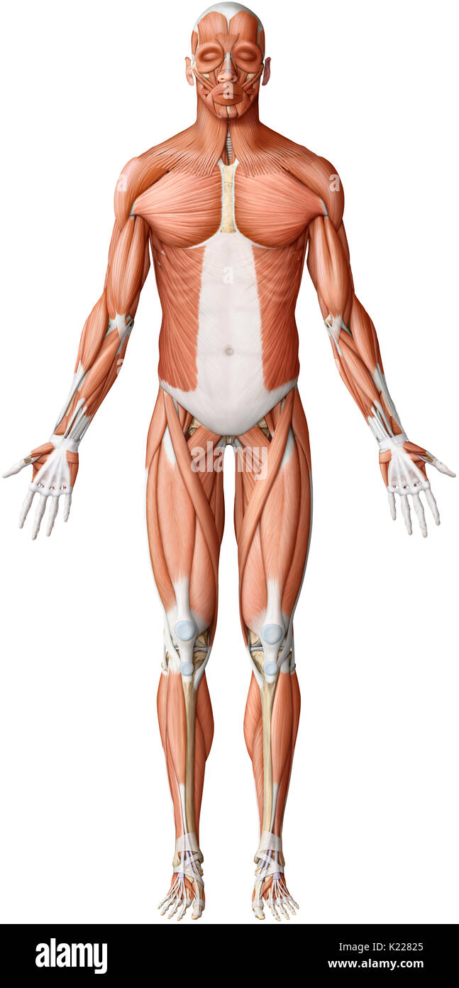 While the movements of the smooth muscles are always involuntary, those of the skeletal muscles are almost always the result of a conscious, voluntary command from the central nervous system. - Stock Image