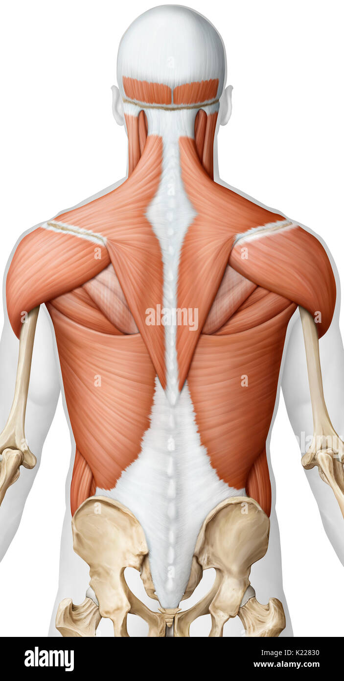 Muscle Of The Upper Body Posterior View Stock Photos Muscle Of The