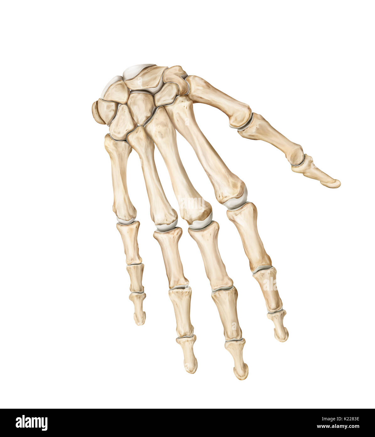 Bones Upper Body Cut Out Stock Images & Pictures - Alamy