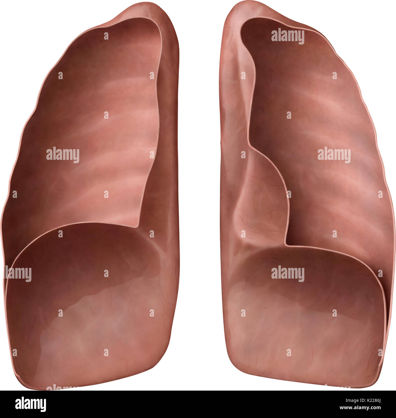 Respiratory organs formed of extensible tissue, in which air from the nasal and oral cavities is carried, ensuring oxygenation of the blood. - Stock Image