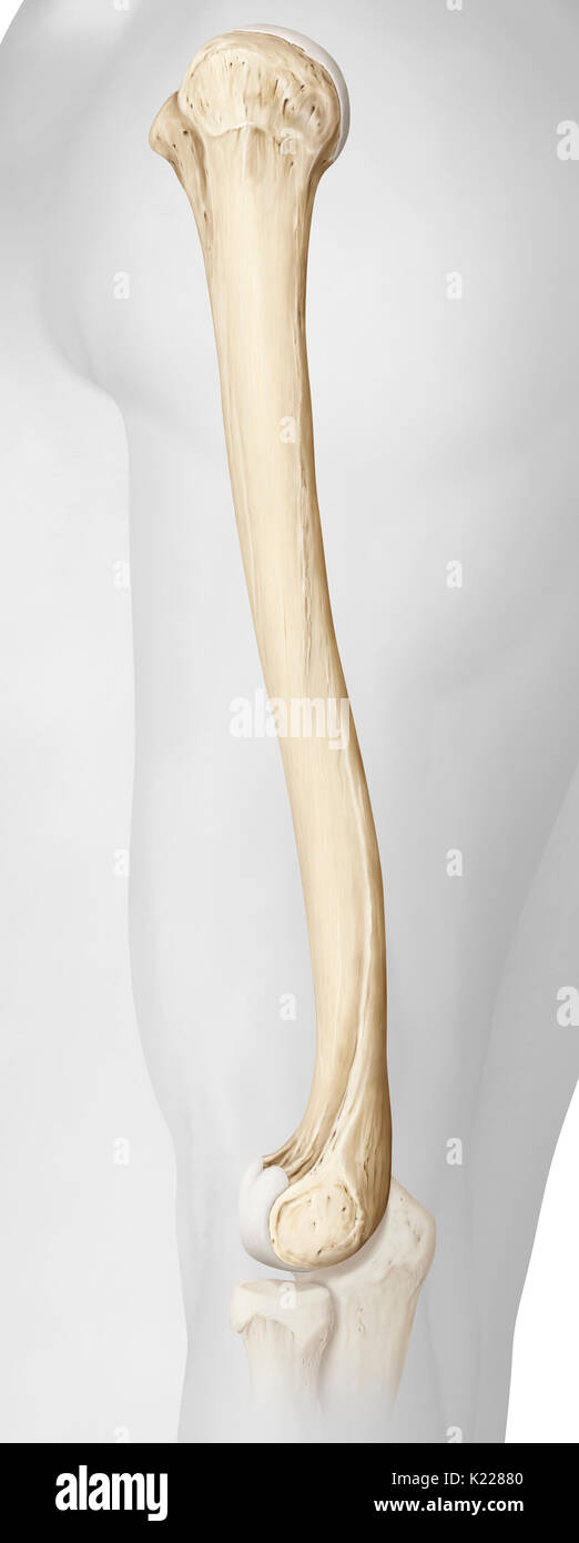 Very large paired bone making up the skeleton of the arm, between the shoulder and elbow joints. - Stock Image