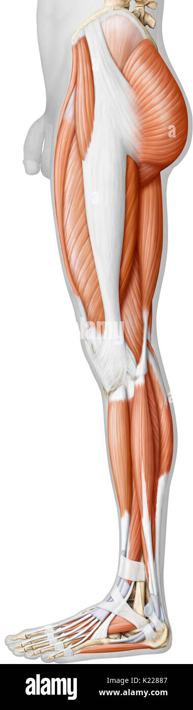Lower Body Anatomy Stock Photos Lower Body Anatomy Stock Images