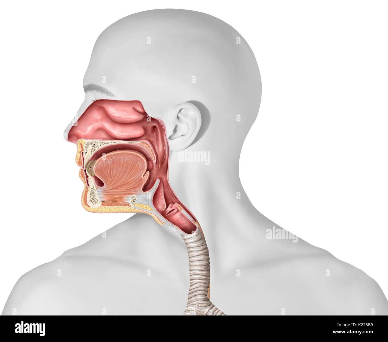 Pharynx Epiglottis Stock Photos & Pharynx Epiglottis Stock Images ...