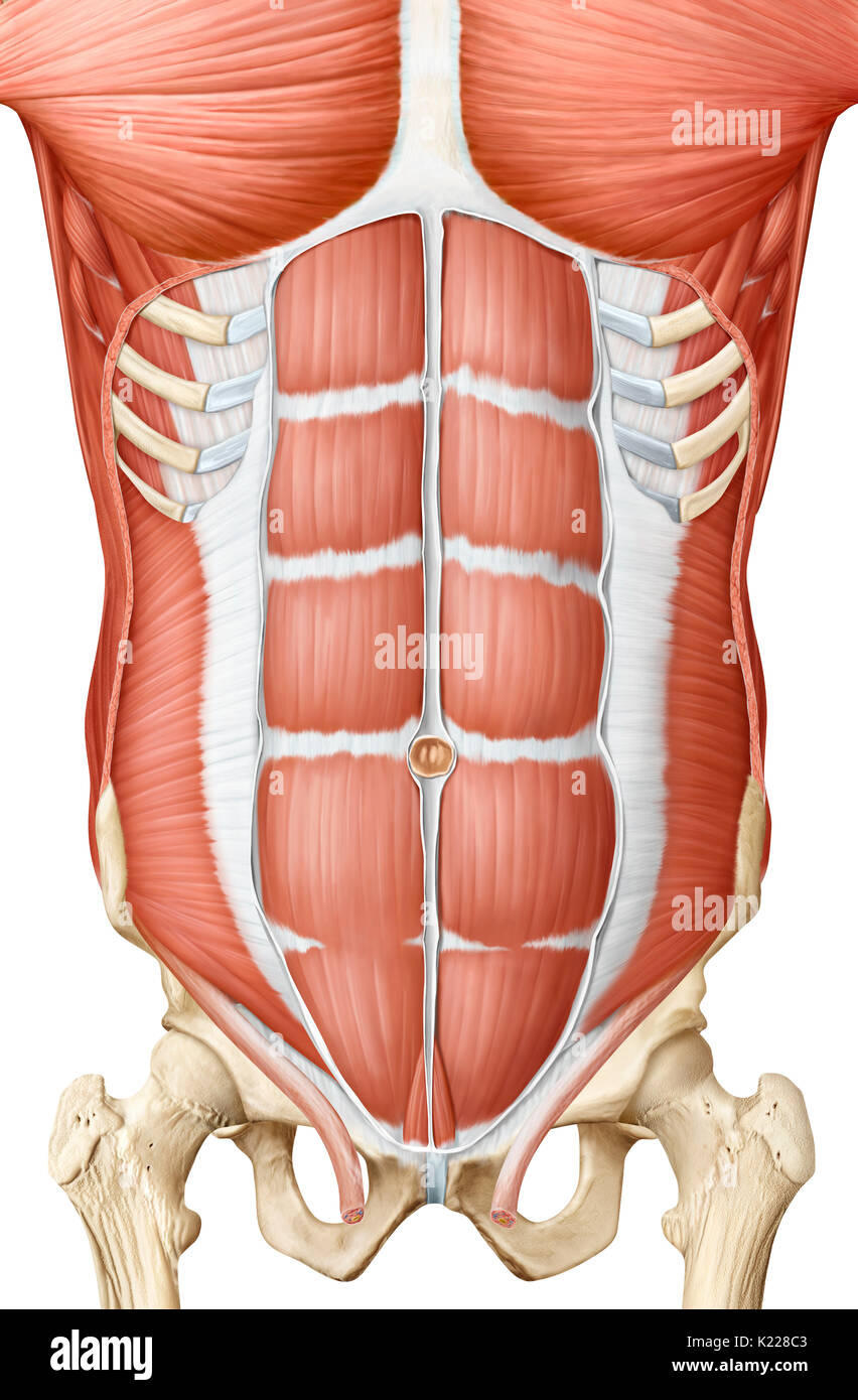 Trunk Muscle Stock Photos & Trunk Muscle Stock Images - Alamy