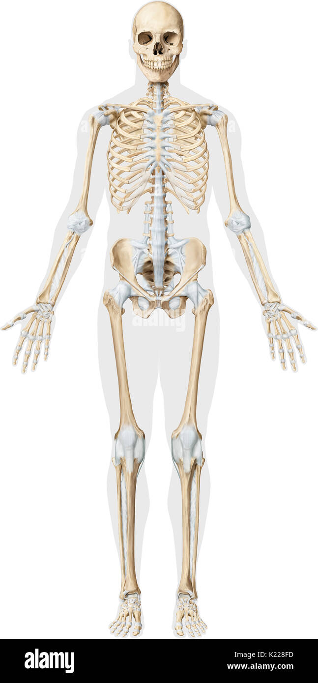 This Image Shows An Anterior View Of The Main Joints Of The Human