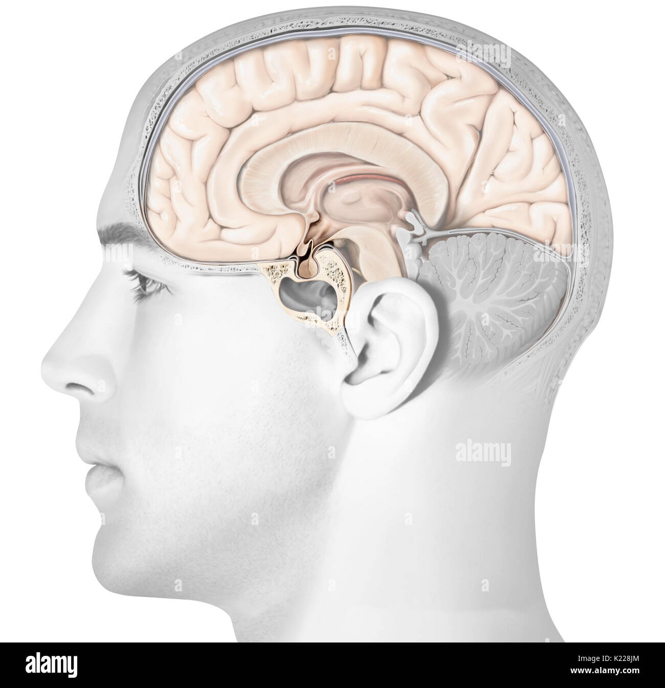The Pituitary Gland Consists Of Two Lobes The Adenopituitary And