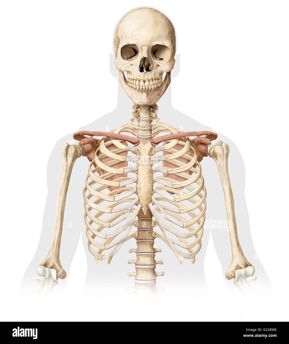 Upper Body Bones Parts Stock Photos Upper Body Bones Parts Stock