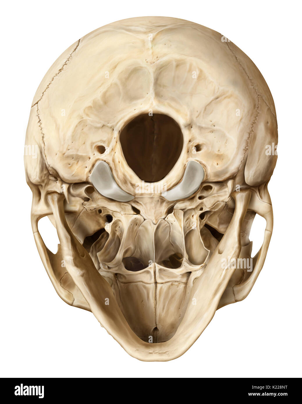 Skull Inferior View Stock Photos & Skull Inferior View Stock Images ...