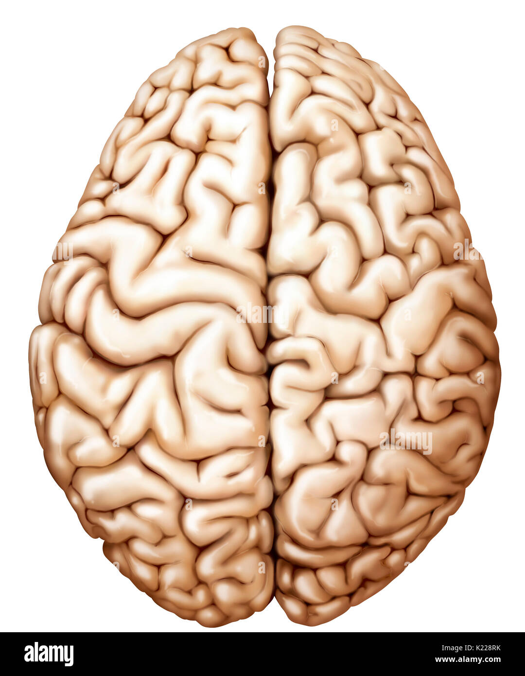 Consisting Of The Cerebrum Stock Photos Consisting Of The Cerebrum