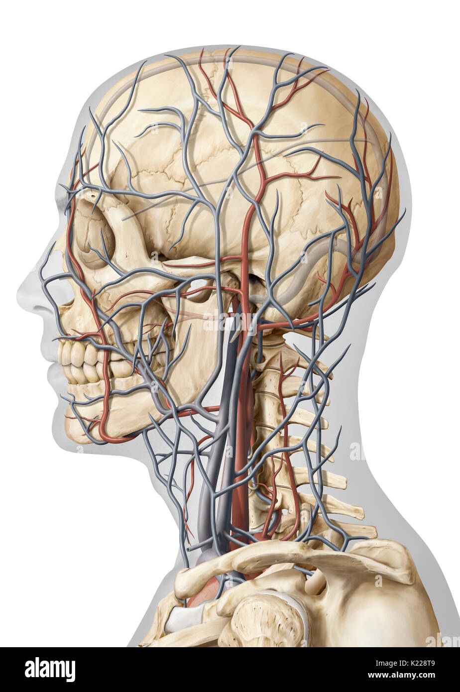 Artery Of The Head Lateral View Stock Photos Artery Of The Head