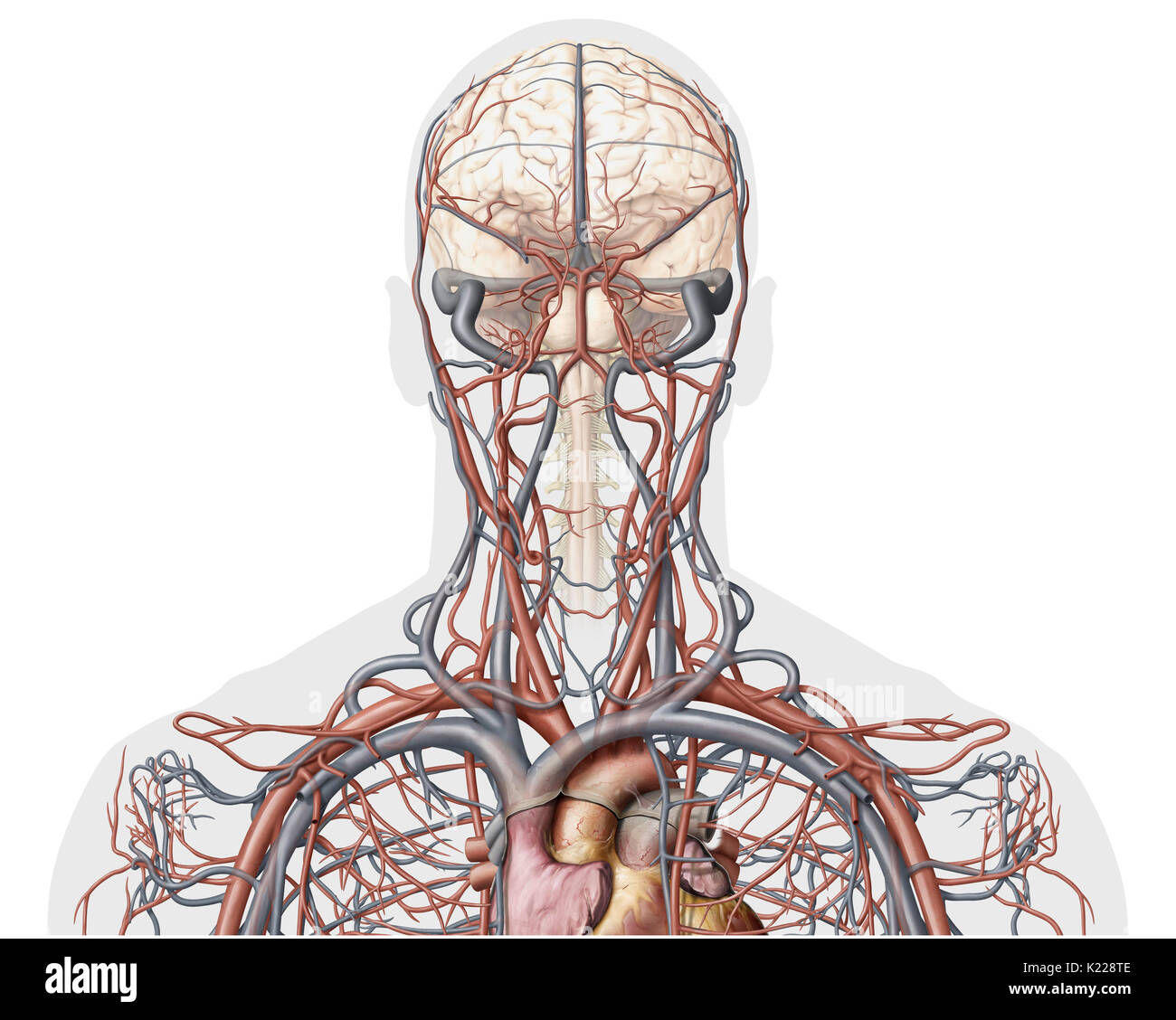This image shows an anterior view of the veins and arteries of the head. - Stock Image