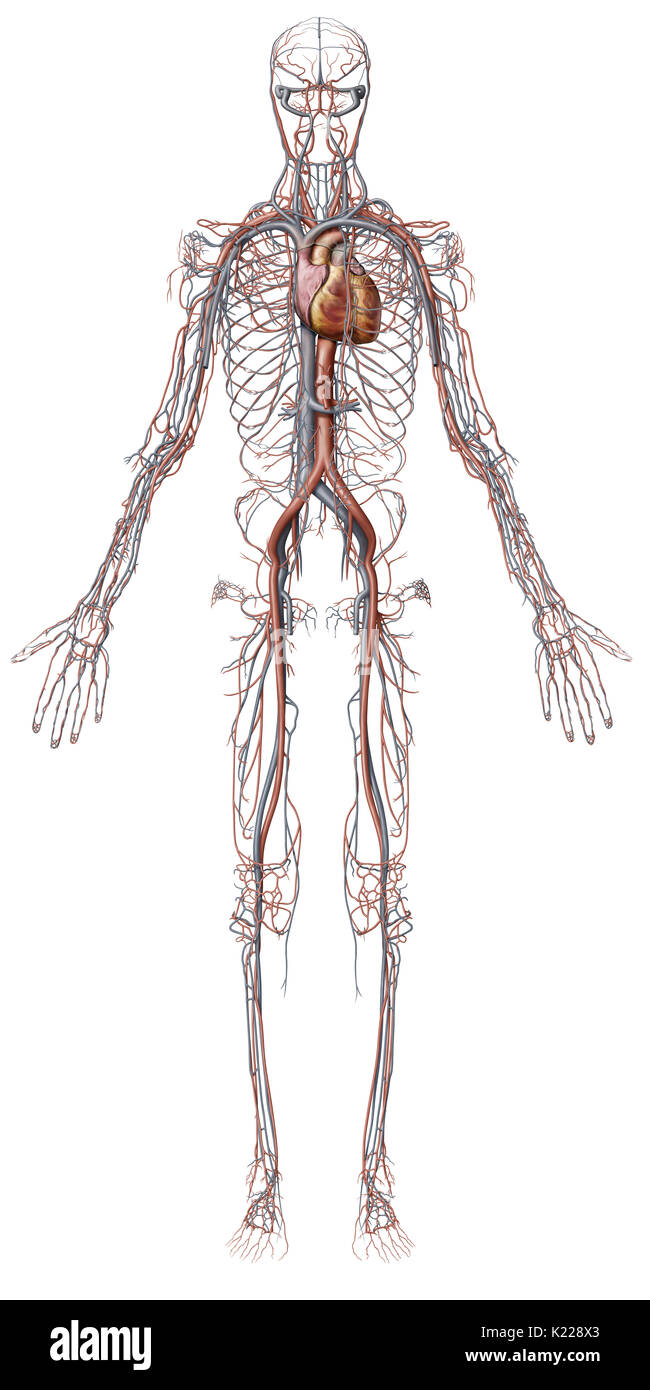 Cardiovascular System Illustration Stock Photos Cardiovascular